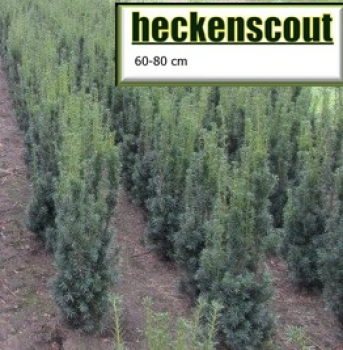 Taxus media ´Hicksii´ - 60cm - 80cm     Bechereibe